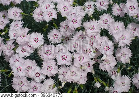 Top View Of Light Pink Flowers Of Dianthus Deltoides In May