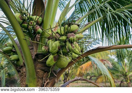 Close-up Of The Green Coconuts Growing On The Coconut Tree In Garden. Health Fruits Concept