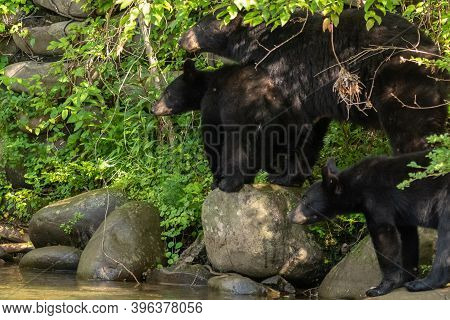 A Couple Black Bear Cubs Wandering Aroung With Mamma Along The Creek Bed In The Great Smoky Mountain