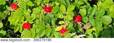 Ripe Red Rosehip Or Rosa Canina, Rosa Majalis, Rosewood, Gulyav, Pinch, Dogrose, Sweetbrier On Branc