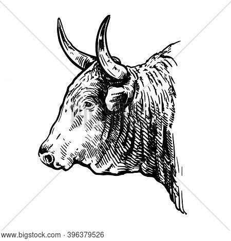 Breeding Cattle. Head Of American Bull. Vector Sketch On White Background