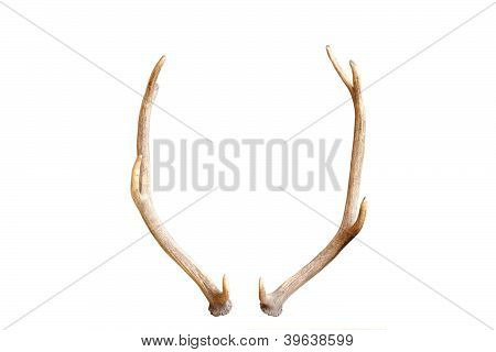 Young Red Deer Antlers