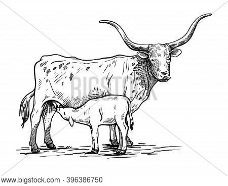 Breeding Cattle. Silhouette Of A Grazing Texas Cow And Calf. Vector Illustration Isolated On White B