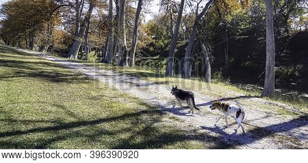 Two Dog Friends Walking Home On A South Texas Road In The Fall Time..