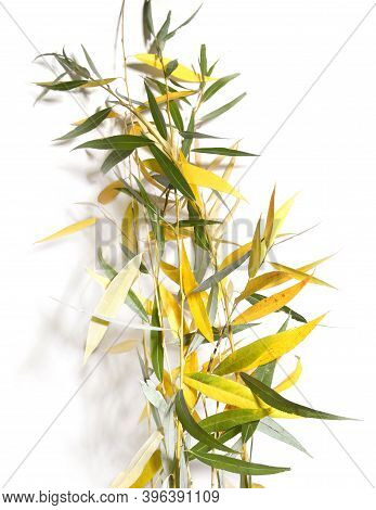 Willow Tree Branches In Autumn Isolated On White Background. Willow Branches With Yellow And Green L