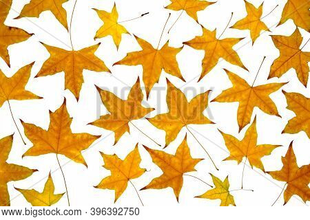 Yellow Autumn Leaves At White Background In Studio
