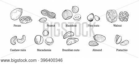 A Set Of Sketch Style Nuts With Titles. The Main Types Of Nuts: Walnuts, Makazamia, Pecans, Almonds,