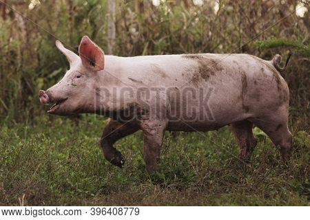 The Dirty Domestic Pig Is Outdoors On Grass, Organic Pig Breeding Agricultural Concept.