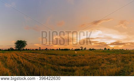 Rice Farm. Stubble In Field After Harvest. Dried Rice Straw In Farm. Landscape Of Rice Farm With Gol