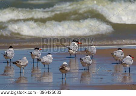 Caspian Tern Wadding On Lake Michigan Shore