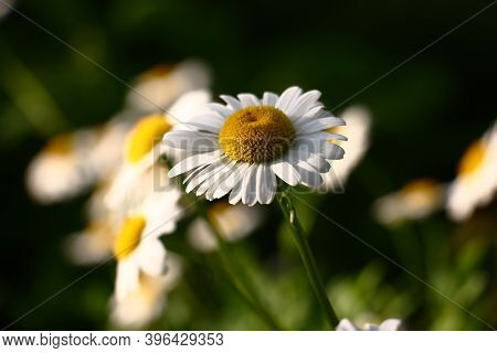 Flowers Of A Wild Camomile In The Solar Evening On A Dark Motley Background.