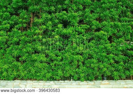 Green Leaves Or Bush Wall Texture Background In Garden Nearly Walkway.