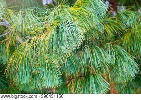 Cedar Branches With Long Fluffy Needles. Pinus Sibirica, Or Siberian Pine. Pine Branch With Long And