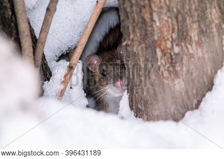 The Rat Looks Out Of Its Burrow. The Brown Rat, Lat. Rattus Norvegicus, Also Known As The Common, St