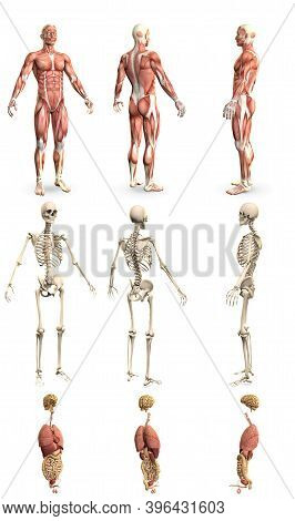 9 In 1, Male Body With Skeleton And Internal Organs - Physiology Concept For Education - Creative Hi