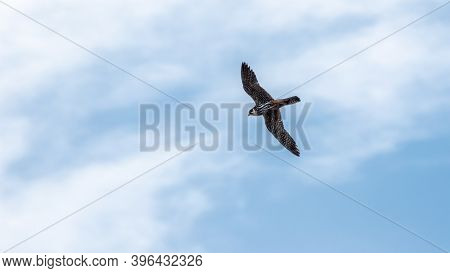 Predatory Bird Eurasian Hobby Or Falco Subbuteo Flies In Blue Sky. The Eurasian Hobby , Falco Subbut