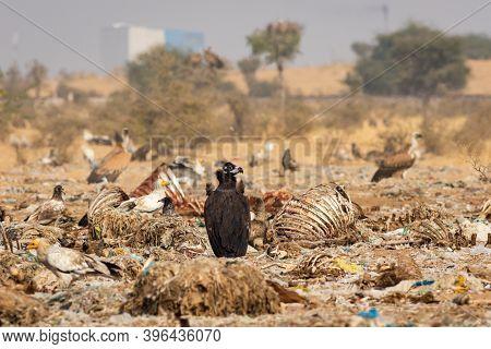 Cinereous Vulture Or Black Or Monk Vulture Closeup At Jorbeer Conservation Reserve Bikaner Rajasthan