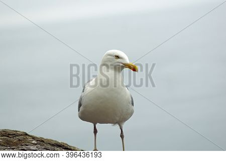 Gulls  Gannets And Other Seabirds At The Skellig Islands