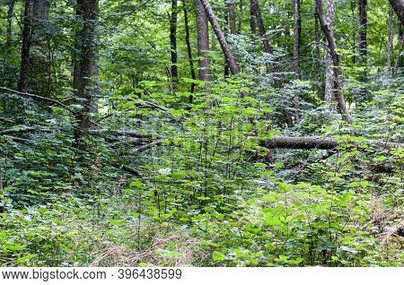 Twigs Of A Maple Tree Seedling Growing In A Natural Deciduous Forest