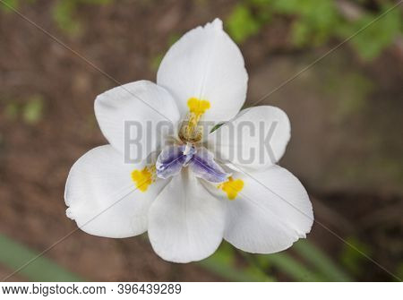Closeup Of White Iris Flower With Yellow And Blue Centre