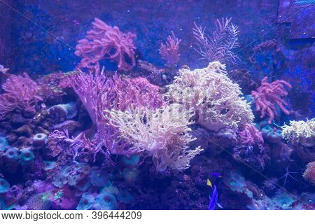 Alcyonacea Soft Corals: Beautiful. Colorful Branching White Orange Yellow Colored Gorgonian Sea Fan