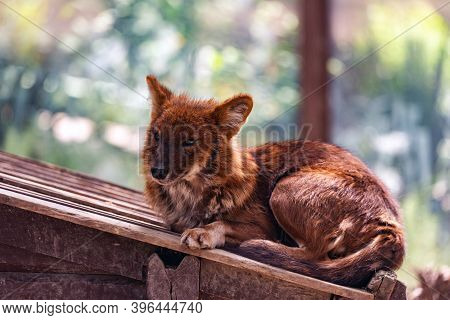 Dhole Or Cuon Alpinus, Other English Names For Species Include Indian Wild Dog, Whistling Dog, Chenn