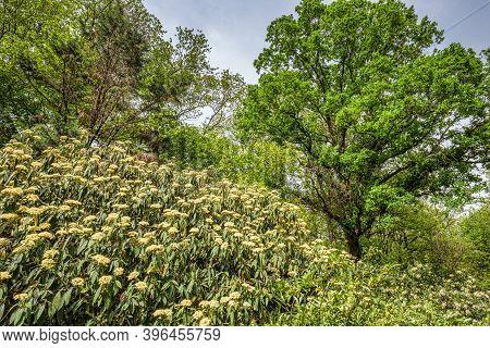 Foliage And Inflorescence Of Viburnum Rhytidophyllum, Also Named As Leatherleaf Viburnum.
