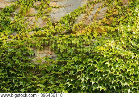 Ivy Crawls The Edges On A Stone Wall