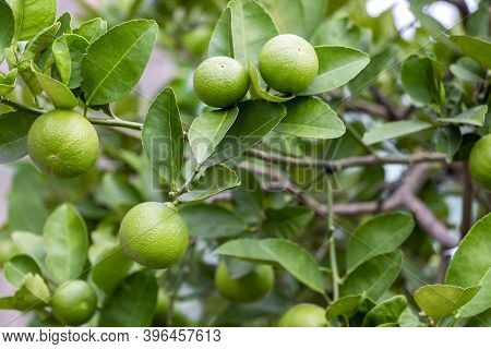 Fresh Lemon And Leaves Planted In The Farm. Fresh Lemons Are Used For Cooking And Contain Vitamin C,