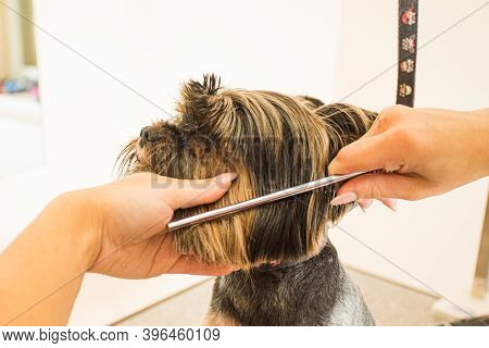 Female Groomer Trims Away Fur On Dogs Snout