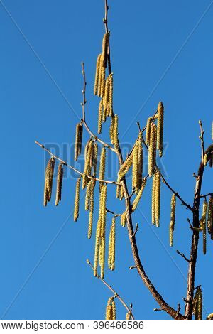 Common Hazel Or Corylus Avellana Large Shrub Plant With Branches Full Of Densely Growing Yellow Catk