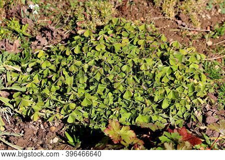 Densely Planted Good Luck Plant Or Oxalis Tetraphylla Or Iron Cross Flower Or Iron Cross Oxalis Or R