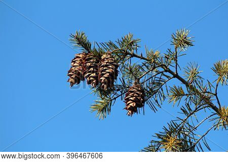 Pine Tree Branch With Four Large Dry Fully Open Brown Pine Cones Or Cones Or Conifer Cones Surrounde
