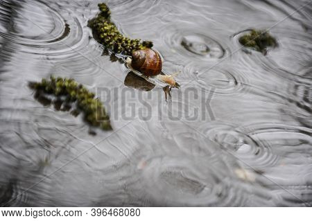 Details With A Snail In A Pond Of Water During A Rainy Day.