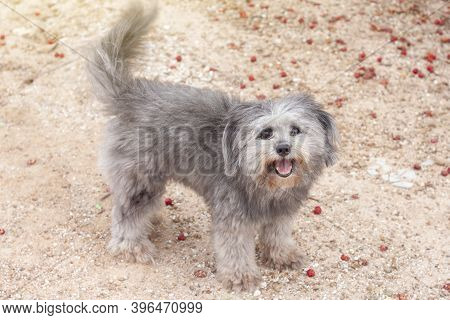 Gray Poodle Dog A Looking Walk And Sticking Out The Tongue On Lateritic Soil.