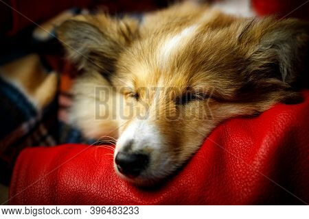 Sheltie, Shetland Sheepdog Sleeping On Girls Hand.