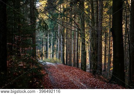 Autumn Forest. The Sun Plays On The Branches Of Trees And Penetrates The Entire Forest With Rays Wal