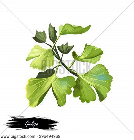 Ginkgo Unusual Non-flowering Seed Plants. Digital Art Illustration Of Ginkgoales, Green Leaves Of Pa