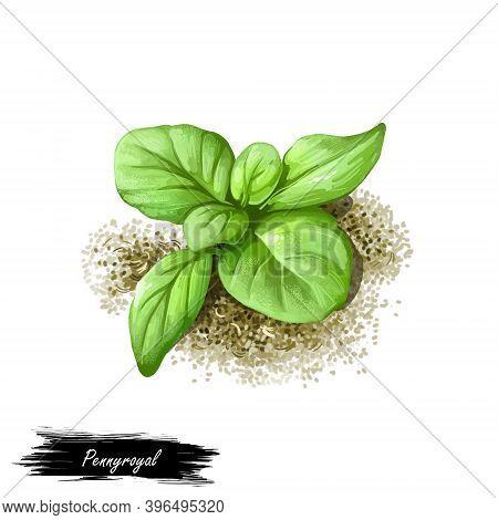 Pennyroyal Green Herb Isolated Digital Art Illustration. Mentha Pulegium, European Pennyrile,  Mint,