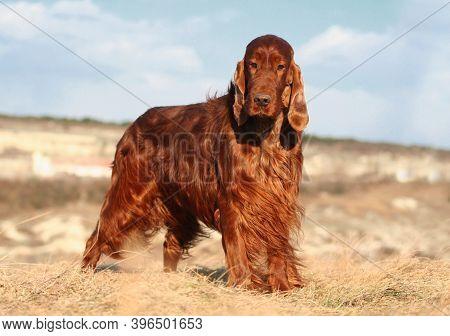 Beautiful Happy Purebred Irish Setter Pet Dog Standing In The Grass