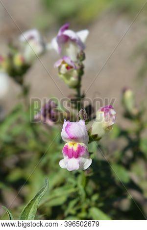 Snapdragon Circus Clowns Flower - Latin Name - Antirrhinum Majus Circus Clowns