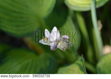 Plantain Lily Gold Standard Flowers - Latin Name - Hosta Gold Standard