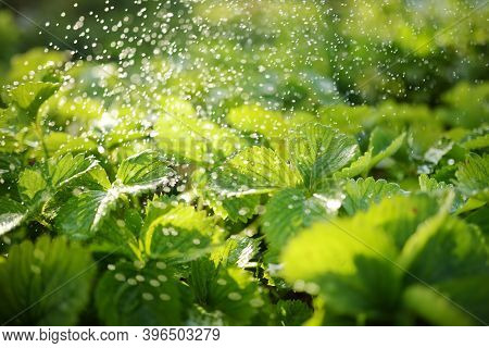 Watering Strawberry Plants At Summer. Fresh Strawberry Leafs With Drops Of Water. Sunrise Light.