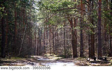 The Last Snow In A Pine Forest In Sunny Weather