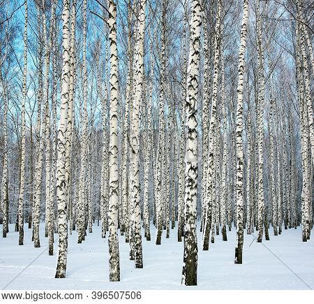 Birch Forest With Snowy Trees On Blue Sky