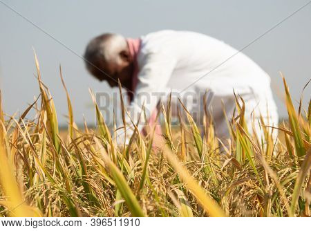 Selective Focus On Paddy Crop, Farmer Busy Working On Paddy Field During Hot Sunny Day - Indian Rura