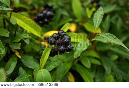 Common Privet (ligustrum Vulgare) Bunch Of Black Glossy Wet Berries With Water Droplets After The Au