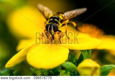 The Wasp Sits On A Flower And Collects Pollen. Macro Shooting Of A Wasp In The Process Of Collecting