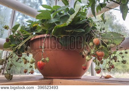 Abundant Harvest Of Strawberries In A Pot. Growing Strawberries At Home Closeup. Indoor Gardening. H