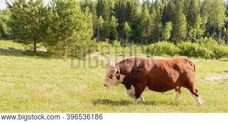 Bull. Symbol Of 2021. Zodiac Sign Taurus. Banner. Big Bull With A Ring In Its Nose, Stood Majestical